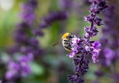 Bee (LuckyMeyer) Tags: biene makro insect bee garden basilikum
