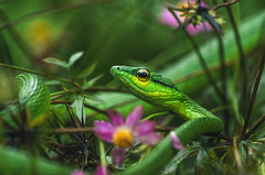 Lora falsa (proyectoasis) Tags: snakes snake serpiente serpientes costarica colorful nature natural naturaleza nikon natura animals animal animales dof bokeh wild wildlife wilderness wildanimal wildanimals flowers