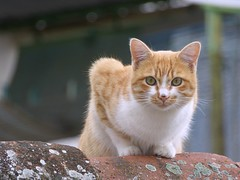 Cat (lauracastillo5) Tags: cat animals roof city town outdoors house building