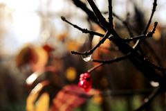first sunshine of november (Ralaphotography) Tags: fall autumn morning sun sunshine sunrise nature canon photography berries leaves drops raindrops twigs yellow trees