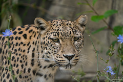 Leopard portrait (with some green and blue) (Toruko Photography) Tags: persianleopard persischerleopard a7rii animals big blue branch branches brown cat close color ears eyes face flowers green leaves leopard nature nose orange portrait sony switzerland white wild yellow