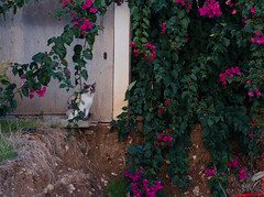 6695 - Macchia (Diego Rosato) Tags: macchia stain gatto cat animal animale pet stray randagio giardino garden fiore flower fuji x30 rawtherape