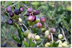 Olives (A Work of Mark) Tags: color sonomacounty oliveharvest olives olivetrees brcohnwinery