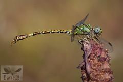 Green Hooktail - Paragomphus genei (Selys, 1841) ( BlezSP) Tags: paragomphusgenes greenhooktail gomphidae iberian españa extremadura spain