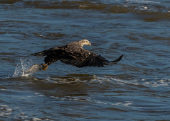 Immature Bald Eagle Catching a Fish (Jim Beers) Tags: eagle raptor susquehanna river fish conowingo young water
