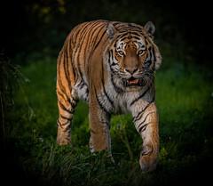 Vladimir in the Spotlight-1 (tiger3663) Tags: amur tiger vladimir yorkshire wildlife park spotlight