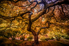 I've Been Waiting to Awaken From These Dreams (Thomas Hawk) Tags: america japanesemaple oregon pdx portland portlandjapanesegarden usa unitedstates unitedstatesofamerica washingtonpark westcoast maple tree fav10 fav25 fav50 fav100