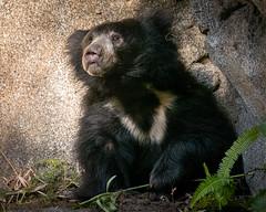 Funny Faced Bear (helenehoffman) Tags: ursidae sandiegozoo mammal indiansubcontinent slothbear conservationstatusvulnerable melursusursinus animal fantasticnature coth alittlebeauty specanimal coth5