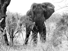 Elephant in the wild in South Africa (` Toshio ') Tags: toshio southafrica africa krugernationalpark kruger animal safari bush mammal canon7d canon 7d tusks blackandwhite bw infrared trunk