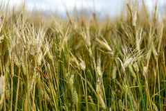 CDC Fraser Barley (Bracus Triticum) Tags: cdc fraser barley アルバータ州 alberta canada カナダ 8月 八月 葉月 hachigatsu hazuki leafmonth 2019 reiwa summer august
