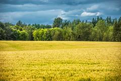 Westlock Field (Bracus Triticum) Tags: westlock field アルバータ州 alberta canada カナダ 8月 八月 葉月 hachigatsu hazuki leafmonth 2019 reiwa summer august