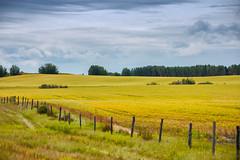 Westlock Landscape (Bracus Triticum) Tags: westlock landscape アルバータ州 alberta canada カナダ 8月 八月 葉月 hachigatsu hazuki leafmonth 2019 reiwa summer august
