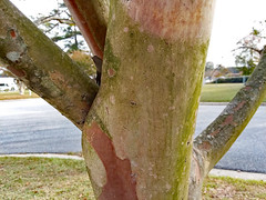 Limbs On A White Crepe Myrtle Tree. (dccradio) Tags: lumberton nc northcarolina robesoncounty outdoor outdoors outside nature crepemyrtle crapemyrtle tree branch branches treebranch treebranches thursday morning thursdaymorning goodmorning samsung galaxy smj727v j7v cellphone cellphonepicture grass lawn yard ground street paved pavement sky