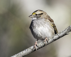 white-throated sparrow (material guy) Tags: whitethroatedsparrow brooklinebirdclub stavrosreservation essex massachusetts trusteesofreservations