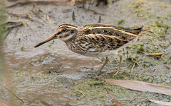 Quoi? Bécassine comment...? (DorianHunt) Tags: jacksnipe birds bokeh switzerland swamps champittet november 2019 nikond500 sigma 150600mm
