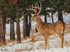 King Of The Mountain (TJN19) Tags: whitetailbuck deer wildlife nature republicwa