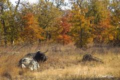 Longhorn (david.horst.7) Tags: cow bull longhorn wildlife trees fall field autumn