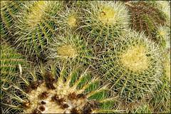 Pinya de Rosa II   Blanes, Catalonia (Flemming J. Gade) Tags: cactus pinyaderosa green catalonia blanes