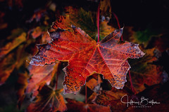 Autumn Leaves-942771 (Jeffrey Balfus (thx for 5.5M views)) Tags: fe2470mmf28gm sel2470gm sonya9 ilce9 autumn fall leaf leaves