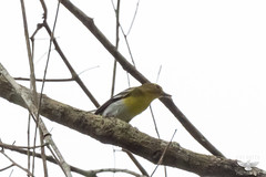 Yellow-throated Vireo (Fayster) Tags: belize birds vireosshrikebabblersanderpornis vireonidae yellowthroatedvireo