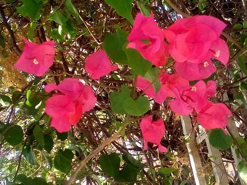 Flores buganvília Vermelha