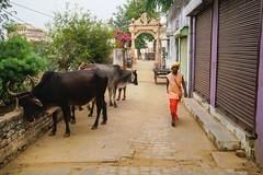 Alleway in Pushkar, Pushkar Rajasthan India (JJ Doro - Bangkok) Tags: horsetrading pushkarlake desert camel cameltrading rajasthan mela religious turbans india fairgrounds robes saricoloreedsari camelfair pushkar camels hindutemple hindu