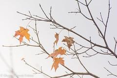 Stragglers (Singing Like Cicadas) Tags: 2019 leaves autumn outdoors nature october peninsula summitcounty cvnp cuyahogavalleynationalpark onethousandgifts