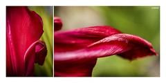 Sensual Reds (red stilletto) Tags: tulip tulips redtulips flower flowers inmygarden spring macro