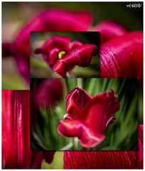 Tulips (red stilletto) Tags: tulip tulips redtulips flower flowers inmygarden spring macro