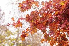 Japanese Maple (Singing Like Cicadas) Tags: 2019 japanesemaple leaves autumn summitcounty cvnp cuyahogavalleynationalpark akron trees ohio outdoors nature