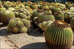 Pinya de Rosa I   Blanes, Catalonia (Flemming J. Gade) Tags: cactus pinyaderosa green catalonia blanes