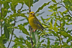 Green-finch (bevanwalker) Tags: d750 nikon lens 300mmf28tc17e11 bird animal fresh greenfinch olivegreen male trees branch leaves plant light time sky overcast outdoor nature wildlife pose beak feathers moment image wing eye beautifulbirds watcher photographer landscape paradise newzealand 2019