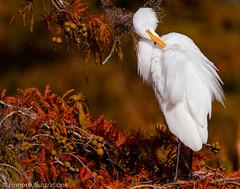 Fall in the swamp. (fishingfinnorn12) Tags: deer egret fountainbleu heron northerharrier statepark whitepelican woodpecker greategret wildlife