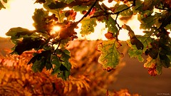 Autumn Glow. Nov 2019 (Simon W. Photography) Tags: nottingham autumn trees colour tree fall leaves woodland season photography autumnal nottinghamshire autumn2019 november color nature beauty countryside flora scenery autumnleaves autumncolours autumncolors foliage colourful picturesque naturephotography november2019 sunset sun sunlight forest landscape outside outdoors s sunrays landscapephotography woodlandtrust sonyuk sonyrx10iv sonyrx10m4 sonyflickraward