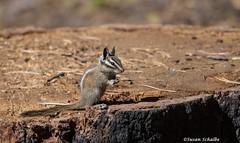 Preparing to eat (Photosuze) Tags: chipmunks lodgepolechipmunk cute eating rodents animals mammals nature wildlife