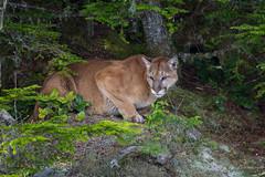 Mountain Lion (Turk Images) Tags: britishcolumbia glendalecove mountainlion pumaconcolor telegraphcove cats cougar felidae mainland mammals puma