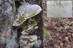 Vahtratarjak; Oxyporus populinus; vaahterankääpä (urmas ojango) Tags: seened fungi hymenochaetales taelikulaadsed schizoporaceae oxyporus tarjak vahtratarjak oxyporuspopulinus vaahterankääpä