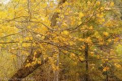 Dappled Gold (Singing Like Cicadas) Tags: 2019 cvnp gold leaves trees autumn ohio summitcounty outdoors nature cuyahogavalleynationalpark october