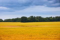 Pickardville Wheat Landscape (Bracus Triticum) Tags: pickardville wheat landscape アルバータ州 alberta canada カナダ 8月 八月 葉月 hachigatsu hazuki leafmonth 2019 reiwa summer august