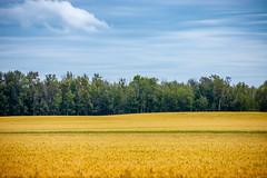 Pickardville Wheat (Bracus Triticum) Tags: pickardville wheat アルバータ州 alberta canada カナダ 8月 八月 葉月 hachigatsu hazuki leafmonth 2019 reiwa summer august