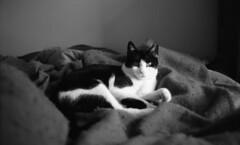 Gavin (neilsonabeel) Tags: cat cats tuxedo tuxedocat pet animal blackandwhite film analogue pentaxspotmaticf pentax spotmatic takumar m42 bed blanket spotmaticf