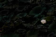 white lotus flower blooming at pond with green foliage (elmanther123) Tags: white lotus singl lovely lonely flower floral tender pure purity foliage art concept clarity fresh flourish sacred arome calm relax pond wet aquatic serene tropical elegance romantic flora beauty attractive garden leaf green gorgeous greenery religion belief vibrant summer sunny spring daylight stalk nature natural wild water ecology exotic outdoor isolated one freedom biology nice