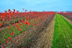 Red and green (Tobi_2008) Tags: feld acker field natur nature sachsen saxony deutschland germany allemagne germania