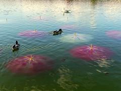 Nymphéas Post déluge II (Raymonde Contensous) Tags: paris jardindestuileries fiac2019 artcontemporain exposition eau nature bassin