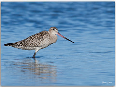 Bar-tailed Godwit (Bear Dale) Tags: bartailed godwit scientific name limosa lapponica nikkor afs 200500mm f56e ed vr ulladulla southcoast new south wales shoalhaven australia beardale lakeconjola fotoworx milton nsw nikond850 photography framed nature nikon bear d850 eastern estuary naturephotography naturaleza water wader wading blue seabirds seashore saltwater