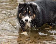 Chewing Water (jayvan) Tags: troutdale oregon fall dash sandyriver aussie australianshepherd dog happy water twtme
