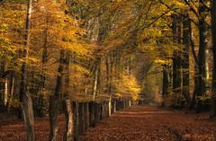 When leaves light up (Zoom58.9) Tags: forest trees strains autumn way path europe germany niedersachsen wald bäume blätter laub stämme herbst weg pfad europa deutschland sony sonydscrx10m4 colorful farbenfroh nature natur landscape landschaft