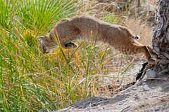 A Hunting We Will Go (dan.weisz) Tags: bobcat wildcat sweetwaterwetlands feline tucson mammal