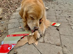 Disassembler (bztraining) Tags: dogchal bzdogs bztraining retriever golden henry