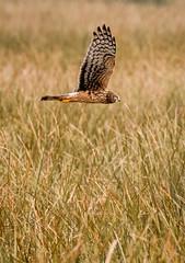 Marsh fell beasts. (fishingfinnorn12) Tags: deer northerharrier heron woodpecker fountainbleu whitepelican statepark egret nikon200500 d7500 nikon birding louisiana
